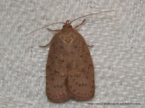 Garrha repandula. Fam. Oecophoridae (ID P. Marriott)