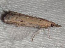 Faveria tritalis (PYRALIDAE, PHYCITINAE) (ID P. Marriott)