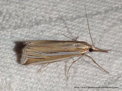 Hednota relatalis Fam Crambidae SF Crambinae