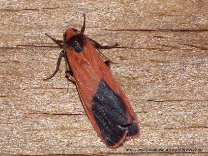 Scoliacma bicolora