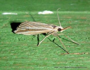 Hednota relatalis SF. Crambinae F. Crambidae