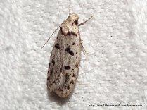 F. Tortricidae