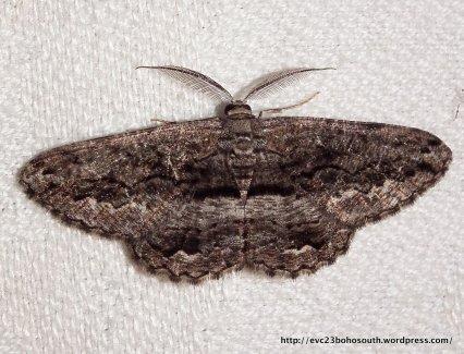 Scioglyptis canescaria Geometridae, Ennominae