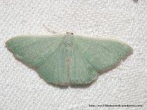 Phelotis semicrocea