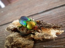 Golden Stag Beetle (Lamprina aurata)