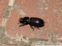 Some Bess Beetles (?Aulacocyclus edentulus) came along for the ride.