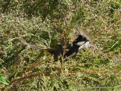 A blur of wings, but unmistakable - an Eastern Whipbird.