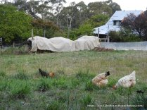 Chook heaven